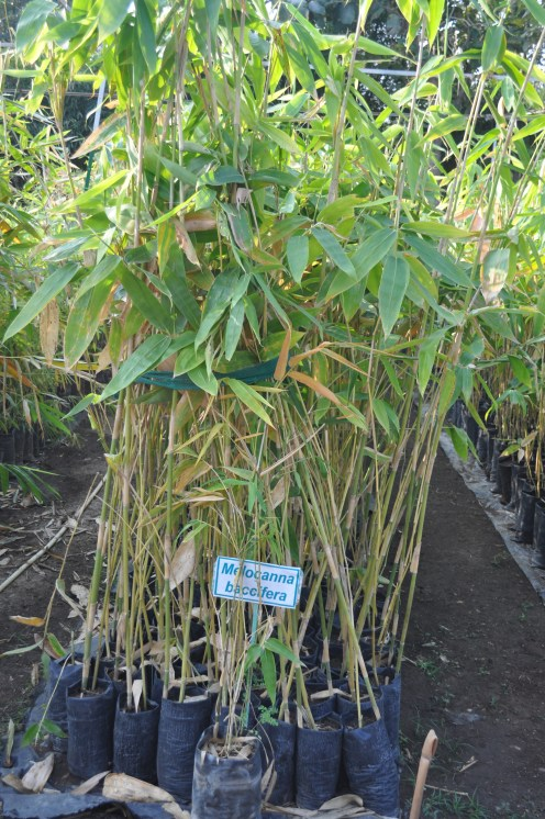 bamboo-for-flute-melocanna-baccifera-dsc_0136