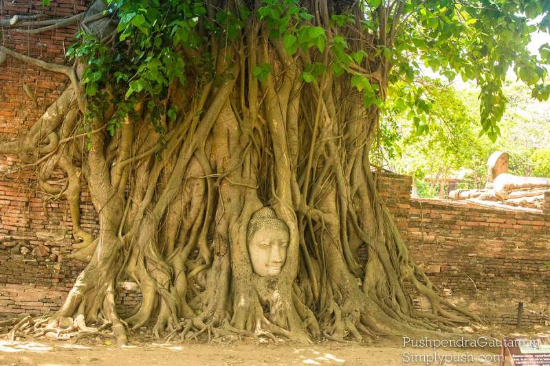 Buddha Head In Tree Roots Thailand