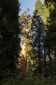 Le 3ème plus gros arbre du monde