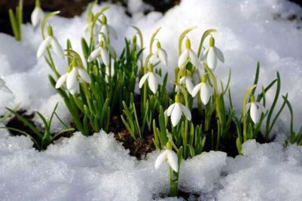 Цветок подснежник белоснежный Подснежник лечебные свойства