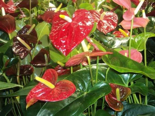 Домашние цветы фото с названиями Домашние растения названия
