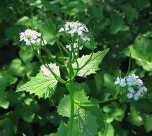 garlicmustardplant
