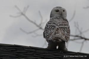 Put in Bay Snowy Owl