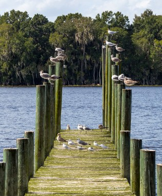 photo of Gulls on Pilings
