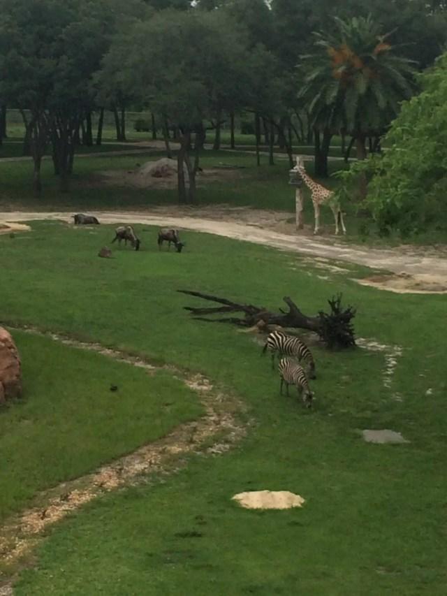 Disney World's Animal Kingdom Lodge Animals