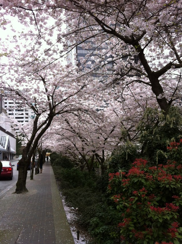 Pretty cherry blossoms downtown