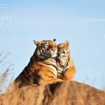 love, compassion, kindness, tiger, tiger spirit, tiger totem