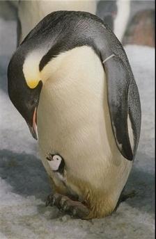 cria de pinguino