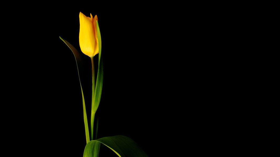 tulip, cvijet