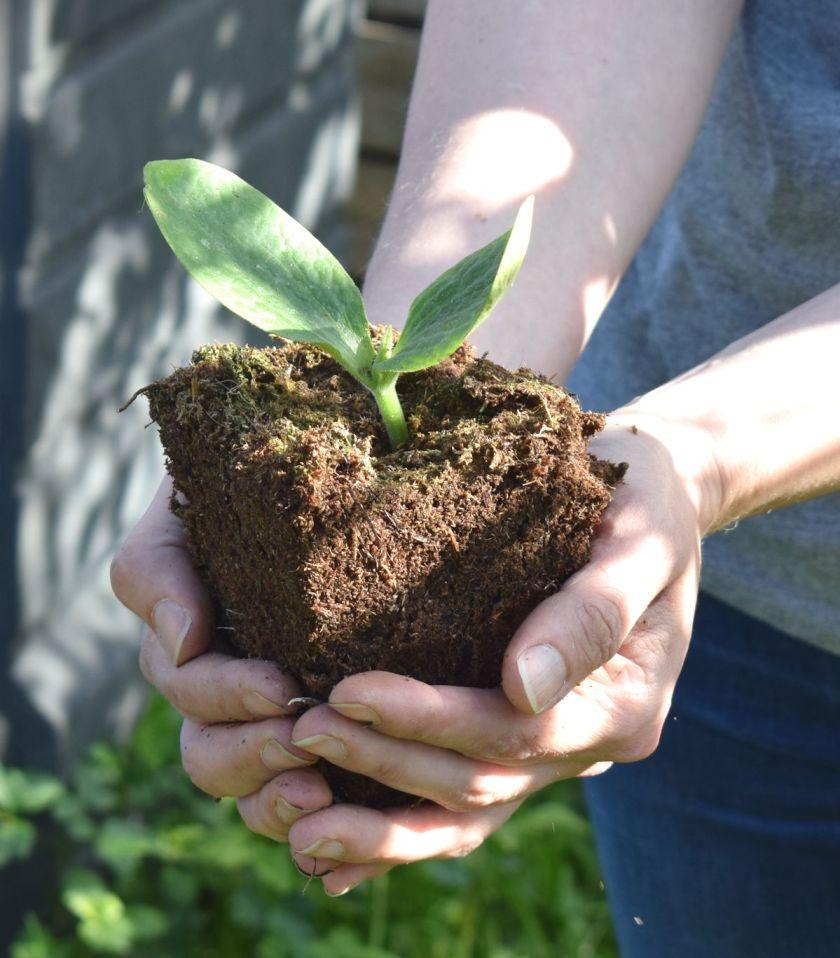 Kesäkurpitsan taimen istutus