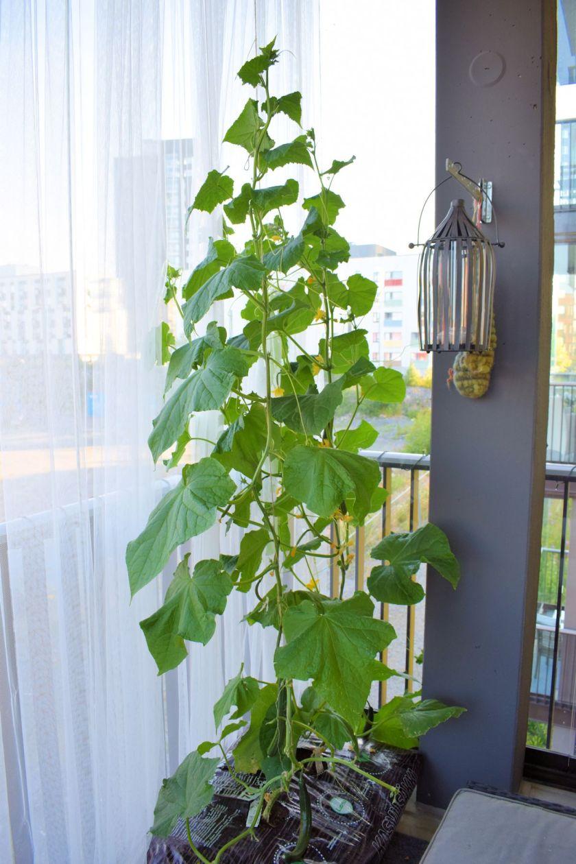 Kasvihuonekurkun kasvatus lasitetulla parvekkeella.