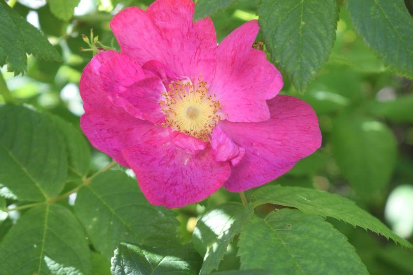 Valamonruusun kukka.