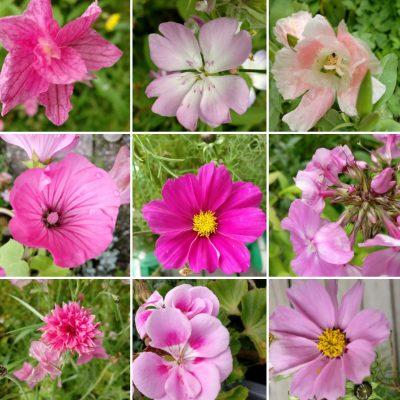 Vaaleanpunaisia kukkia.