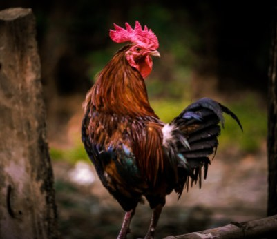 Rooster, potential animal sacrifice