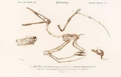 Pterosaur (Pterodactylus) Illustrated by Charles Dessalines D' Orbigny (1806-1876)