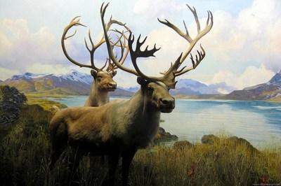 1890 Boreal Woodland Caribou severely declining