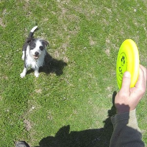 Attention in Dog Sports