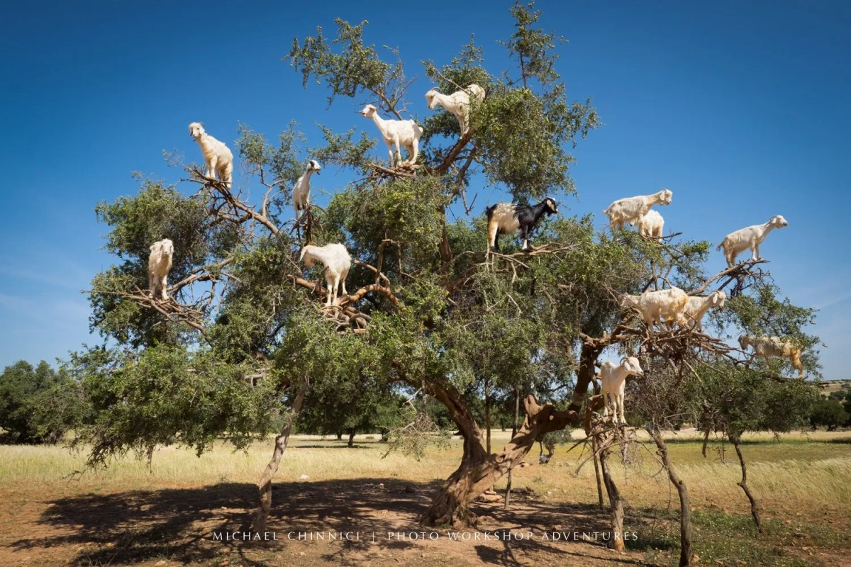 morocco-michael-chinnici-tree-goats