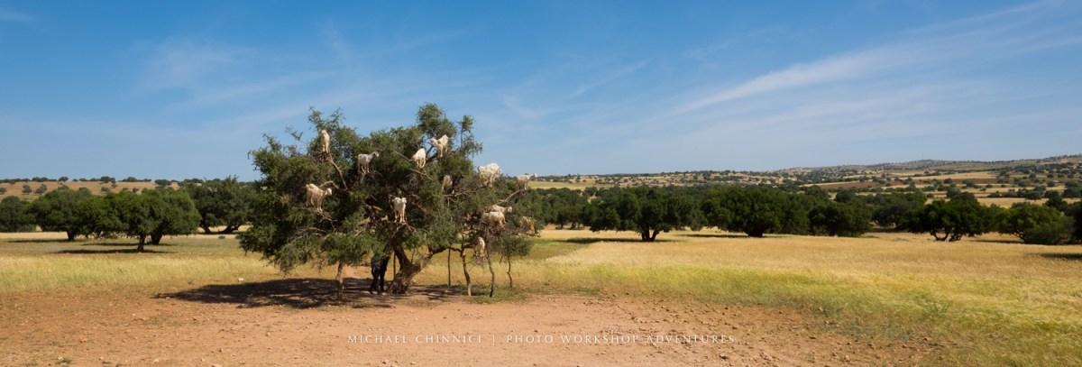 morocco-michael-chinnici-tree-goats