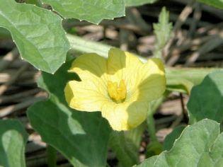 Female flower_Shu Suehiro_Creative Commons