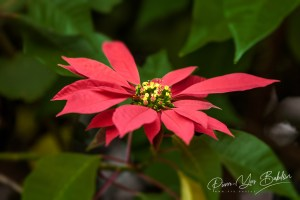 Poinsettia rouge (Euphorbia pulcherrima)