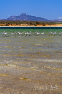 Flamands blancs, lac Anony, Fort-Dauphin, Madagascar
