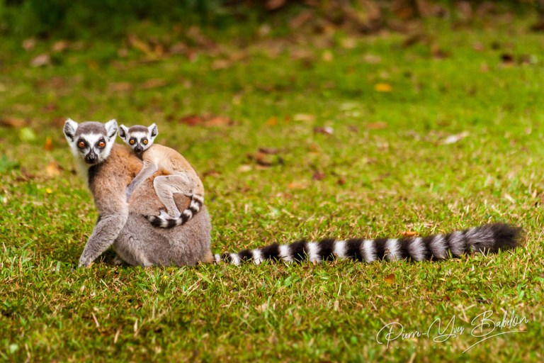 Mom and child Lemurs Catta