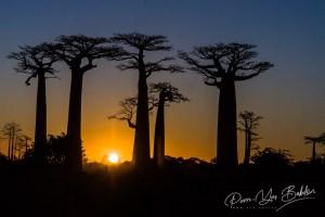 Sunset on baobab trees