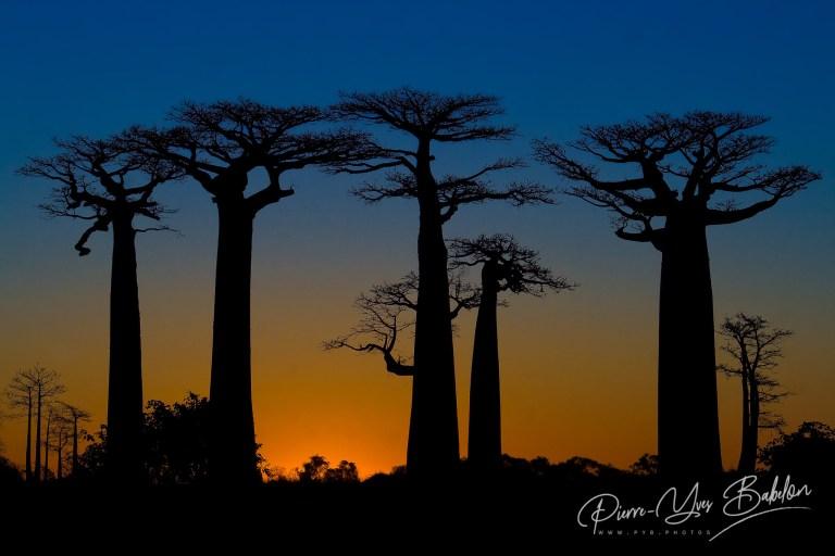 Sunset on baobabs