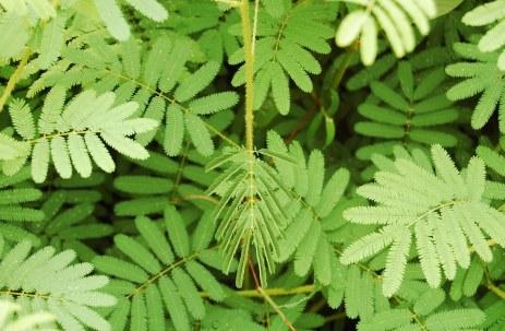 sensitive-plant