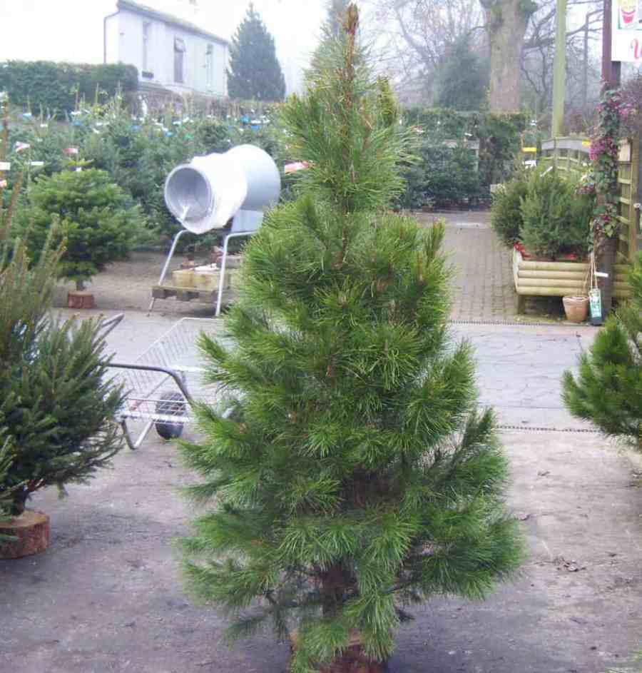How long do real christmas trees last - How to keep it ...