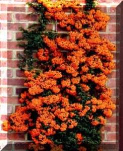 picture of Pyracantha with orange berries which has been trained up a trellis on a wall