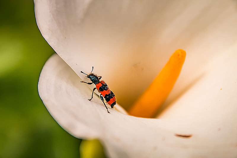 Die Farben des Bienenkäfers kommen auf der Calla-Blüte gut zur Geldung.