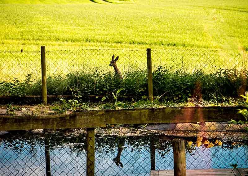 Am Gartenteich steht eine Hirschkuh und schaut über den Zaun.