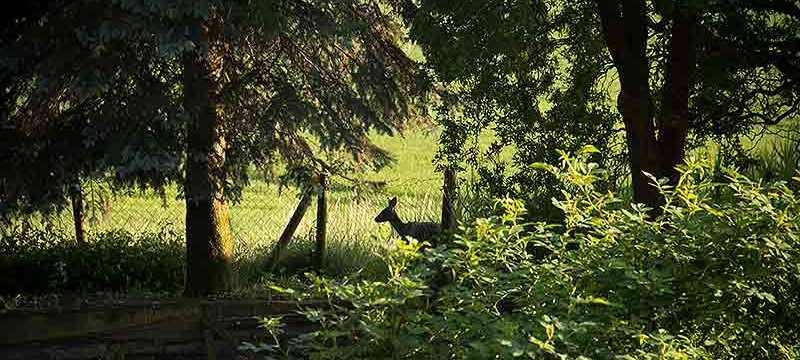 Hirsch Hilde tastet sich vom Blühstreifen in den Garten vor.