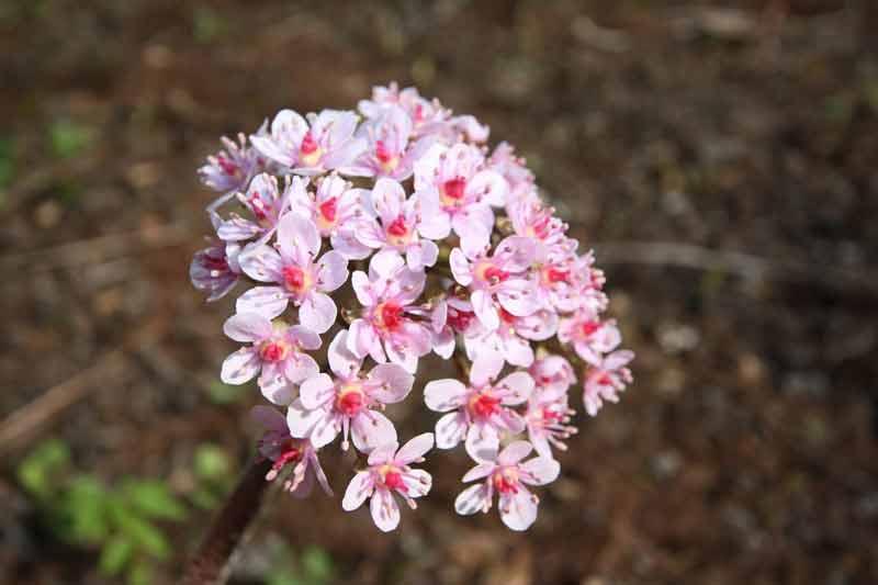 Blühendes Schildblatt