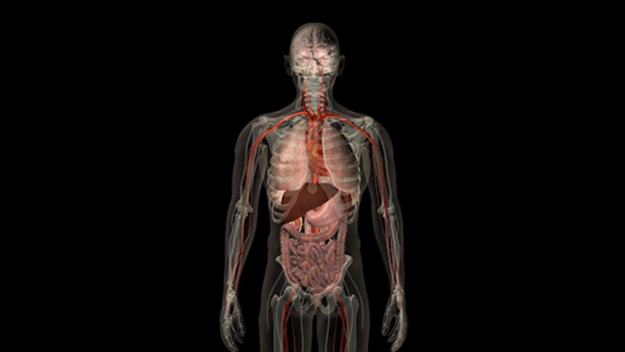 Sabe usted cuál es el órgano más grande del cuerpo humano ...