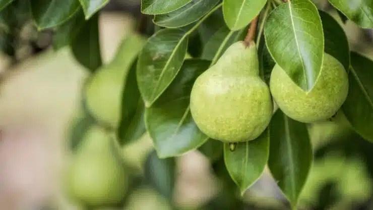 Manzana o Pera