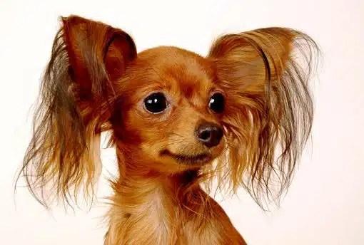 Pequeño Perro Ruso