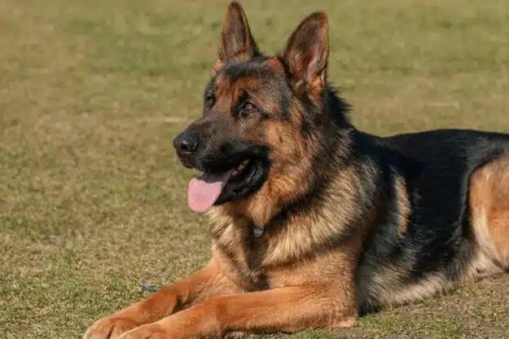 Muere 1er perro que dio positivo para Coronavirus en EE.UU.