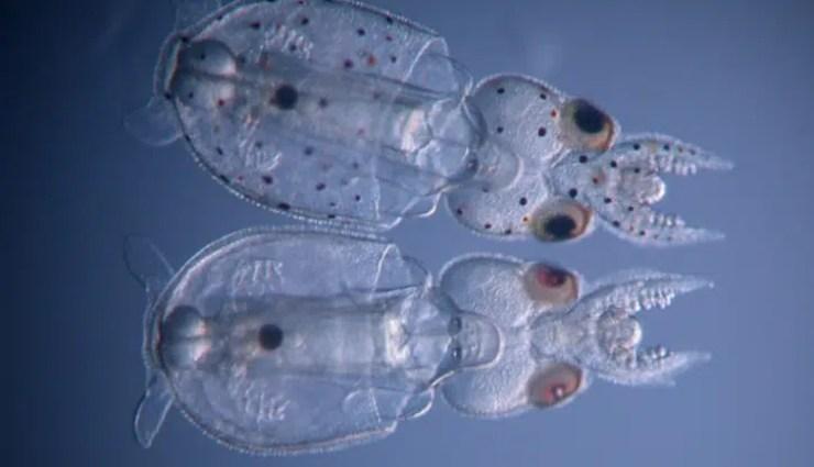 Nació el primer calamar editado genéticamente