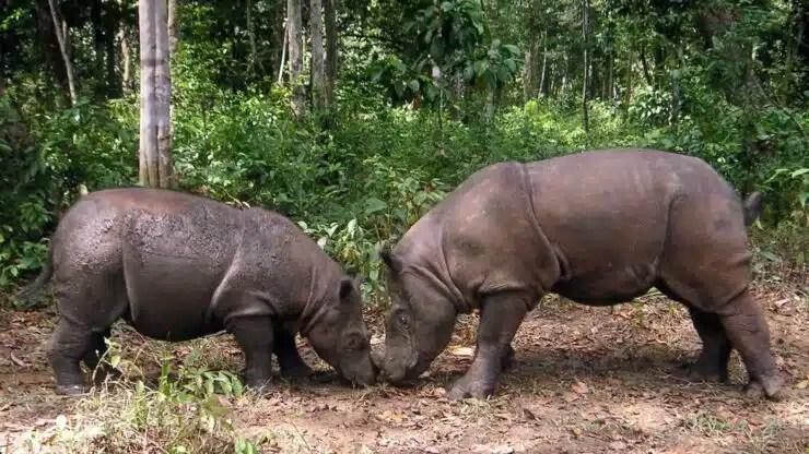 clonar rinocerontes