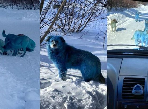 perros azules