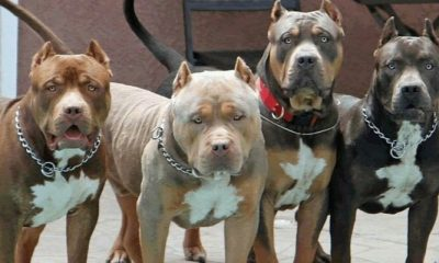 Pitbull - American Pit Bull Terrier