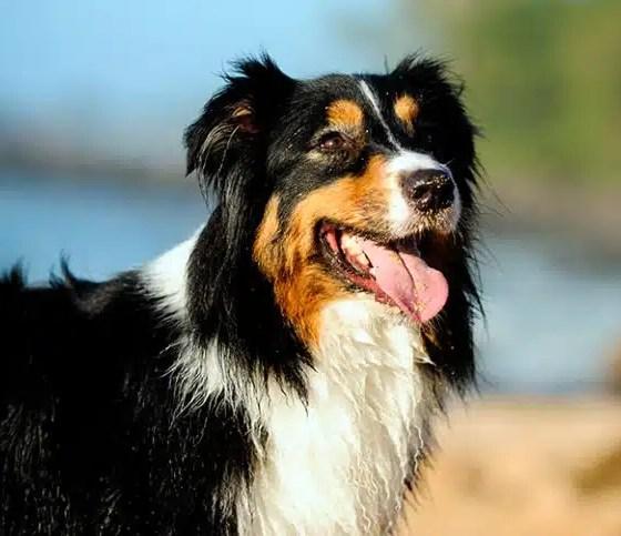 perro-de-raza-pastor-australiano