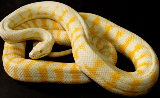 Albino Carpet Python - Pythons Review