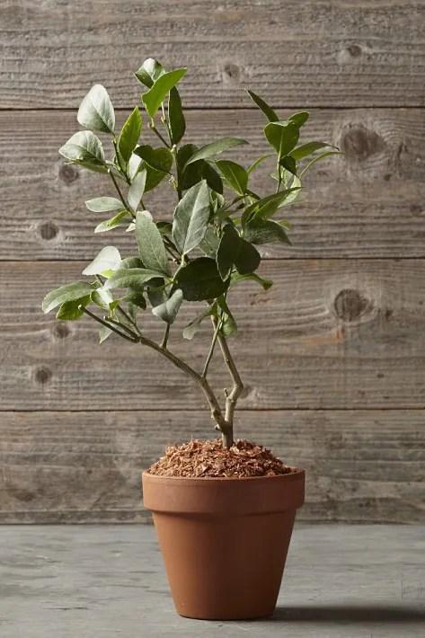 meyer lemon tree in terracotta pot