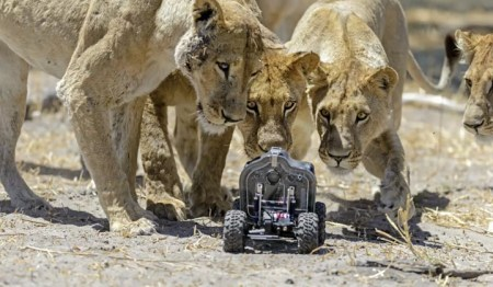 Incredible Photos of Lions Shot By Remote-controlled Camera