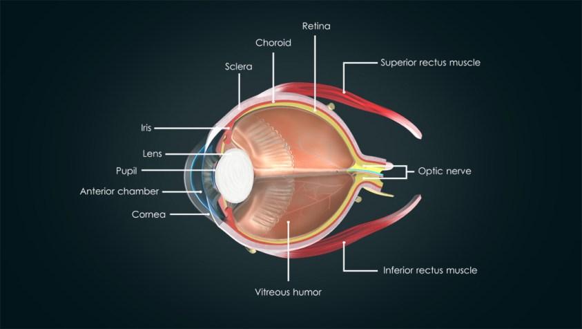 Anatomy of the Human Eye | Visual Acuity & Light ...