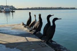 Des cormorans